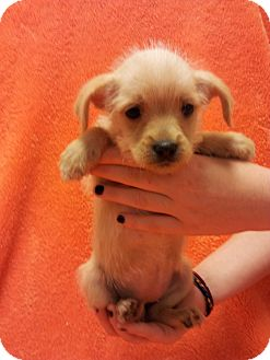 Shih Tzu/Terrier (Unknown Type, Small) Mix Puppy for adoption in Somers, Connecticut - Brooke