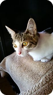 Domestic Shorthair Kitten for adoption in Fort Pierce, Florida - Spirit