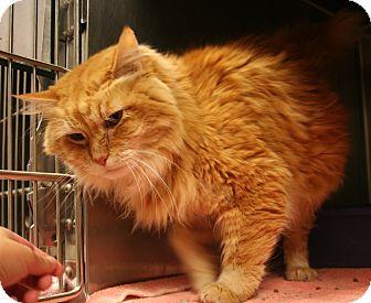 Domestic Longhair Cat for adoption in Marietta, Georgia - LEO