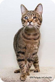 Domestic Shorthair Cat for adoption in Frankenmuth, Michigan - Harold