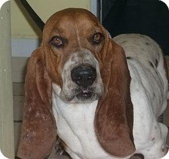 Basset Hound Dog for adoption in Newburgh, Indiana - Fred - Pure !