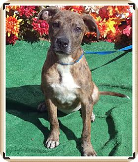 Shepherd (Unknown Type) Mix Puppy for adoption in Marietta, Georgia - GABBIE