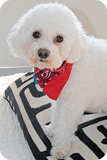 Bichon Frise Dog for adoption in Omaha, Nebraska - Daisy