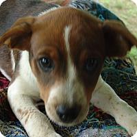 Adopt A Pet :: Jennie - Hagerstown, MD