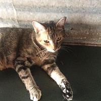 Domestic Mediumhair Cat for adoption in Thibodaux, Louisiana - Noel FE2-9455