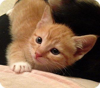 Domestic Shorthair Kitten for adoption in Savannah, Georgia - Cleodora