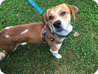 Beagle Dog for adoption in Newark, Delaware - Snoopy