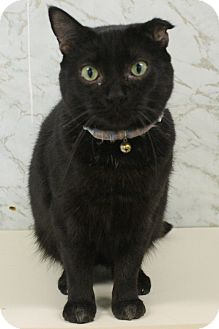 Domestic Shorthair Cat for adoption in Richand, New York - Crystal