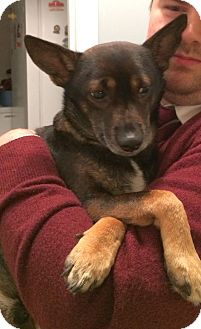 Chihuahua/Miniature Pinscher Mix Dog for adoption in Chattanooga, Tennessee - Petey