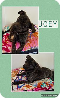 Feist Mix Dog for adoption in East Hartford, Connecticut - Joey 2-pending adoption