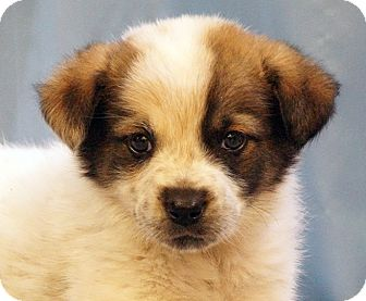 Australian Cattle Dog/Retriever (Unknown Type) Mix Puppy for adoption in Maynardville, Tennessee - Jelly Bean