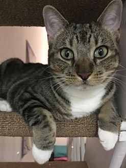 Domestic Shorthair Cat for adoption in New York, New York - Megan
