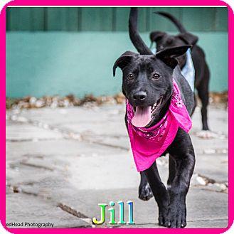 Labrador Retriever Mix Dog for adoption in Hollywood, Florida - Jill