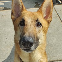 German Shepherd Dog Mix Dog for adoption in Minneapolis, Minnesota - Blitz