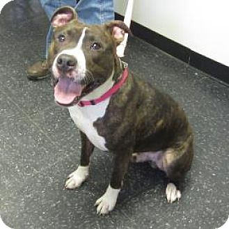 Pit Bull Terrier Mix Dog for adoption in Menands, New York - Justice