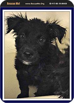 Labrador Retriever/Flat-Coated Retriever Mix Puppy for adoption in Phoenix, Arizona - Dirk