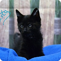 Domestic Shorthair Kitten for adoption in Lebanon, Missouri - Dusty