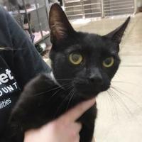 Adopt A Pet :: Savannah - Twinsburg, OH