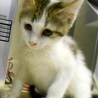 Domestic Shorthair/Domestic Shorthair Mix Cat for adoption in Oskaloosa, Iowa - Milo