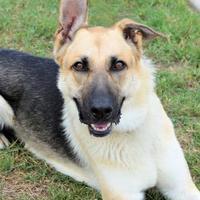 Adopt A Pet :: Dakota - Georgetown, TX