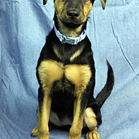 Adopt A Pet :: Pookie - Westminster, CO