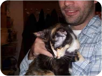 Domestic Shorthair Cat for adoption in Spokane, Washington - Dora
