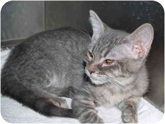 Domestic Shorthair Kitten for adoption in El Cajon, California - Trudy