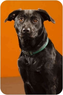 Labrador Retriever Mix Dog for adoption in Portland, Oregon - Priscilla