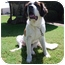 Photo 2 - St. Bernard Dog for adoption in Bellflower, California - Sugar