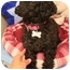 Photo 2 - Poodle (Toy or Tea Cup) Dog for adoption in Naperville, Illinois - Coco