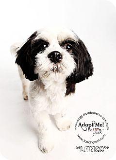 Cocker Spaniel/Shih Tzu Mix Dog for adoption in Omaha, Nebraska - Lance-pending adoption