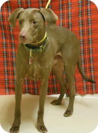 Labrador Retriever Mix Dog for adoption in Gary, Indiana - Bear