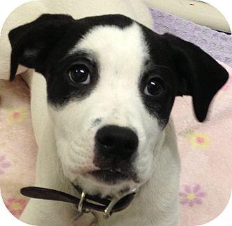 Labrador Retriever/Boxer Mix Puppy for adoption in Ithaca, New York - Bandit