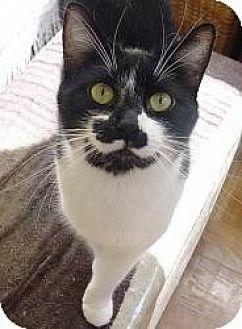 Domestic Shorthair Cat for adoption in Cerritos, California - Marx