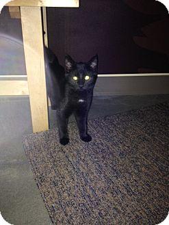Domestic Mediumhair Cat for adoption in Cary, North Carolina - Penelope