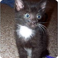 Adopt A Pet :: Boots - Davis, CA