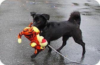 Chihuahua Mix Dog for adoption in Gloucester, Massachusetts - Sasha