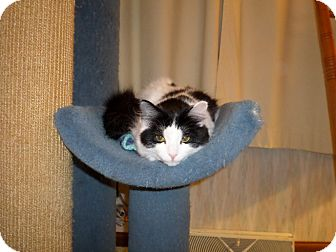 Domestic Mediumhair Kitten for adoption in Carlisle, Pennsylvania - Fiona (CP)