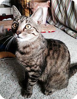 Domestic Shorthair Cat for adoption in Carlisle, Pennsylvania - Reagan