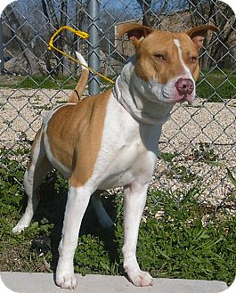 American Staffordshire Terrier Mix Dog for adoption in Kirby, Texas - Colby