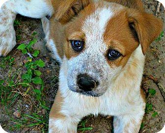 Australian Shepherd Mix Puppy for adoption in LaGrange, Texas - Gia