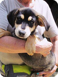 Labrador Retriever/Australian Shepherd Mix Dog for adoption in Lincolndale, New York - Apache