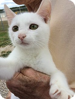 Domestic Shorthair Kitten for adoption in Sullivan, Missouri - Casper