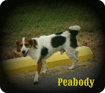 Beagle Mix Dog for adoption in Greenville, Kentucky - Peabody