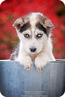 Siberian Husky Mix Puppy for adoption in Cincinnati, Ohio - Nick