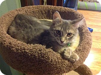 Domestic Shorthair Cat for adoption in Tracy, California - Peggy-Sue