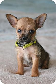 Chihuahua/French Bulldog Mix Puppy for adoption in Southington, Connecticut - Fonzi