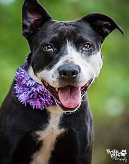 Pit Bull Terrier Mix Dog for adoption in Newcastle, Oklahoma - Allie