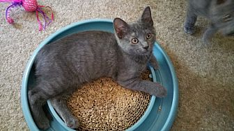 Domestic Shorthair Cat for adoption in Philadelphia, Pennsylvania - Rosey