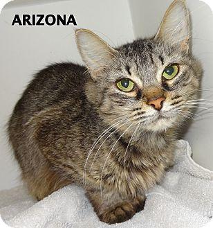 Domestic Mediumhair Cat for adoption in Lapeer, Michigan - Arizona-outgoing!
